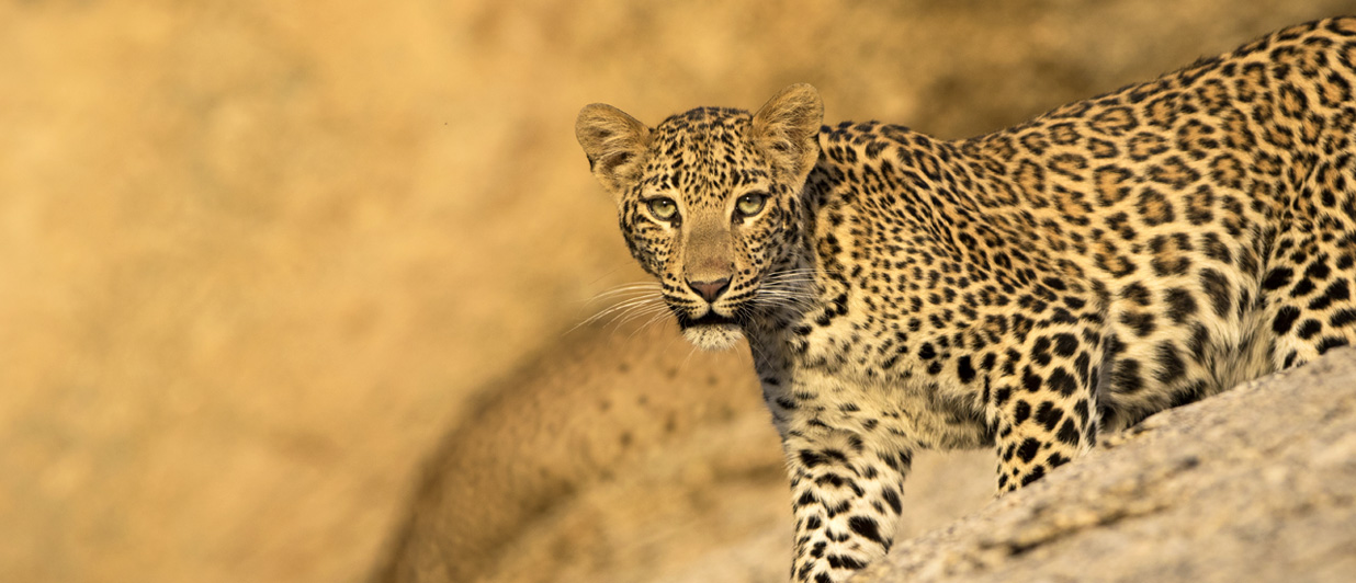 Track the Leopard in Jawai
