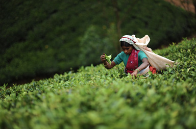 Nuwara Eliya tea gardens